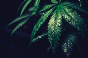 Cannabis, No Longer So Divisive, Draws More Conservative Support